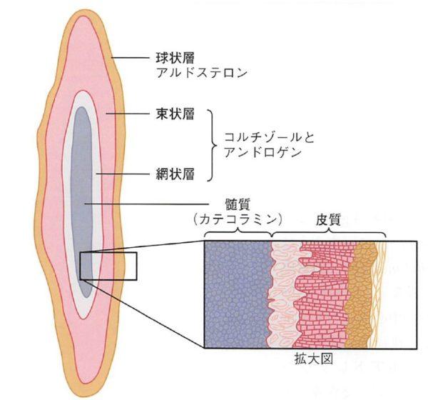 ホルモン 副腎 ゴロ 皮質 下垂体前葉から出るホルモン6つ。覚え方・ゴロを紹介